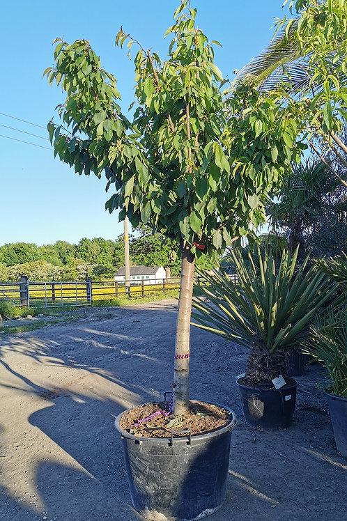 Large Cherry Trees For Sale.