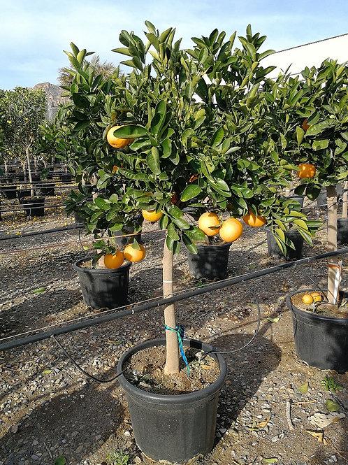 Citrus sinensis 'Chislet Navel' Orange Trees For Sale.