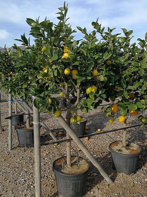 Citrus lemon Trees For Sale