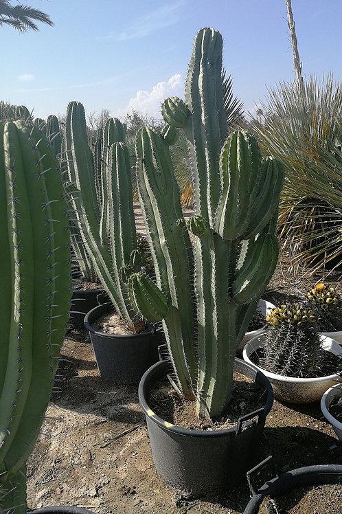 Large Polaskia Chichipe multi trunk cactus for sale
