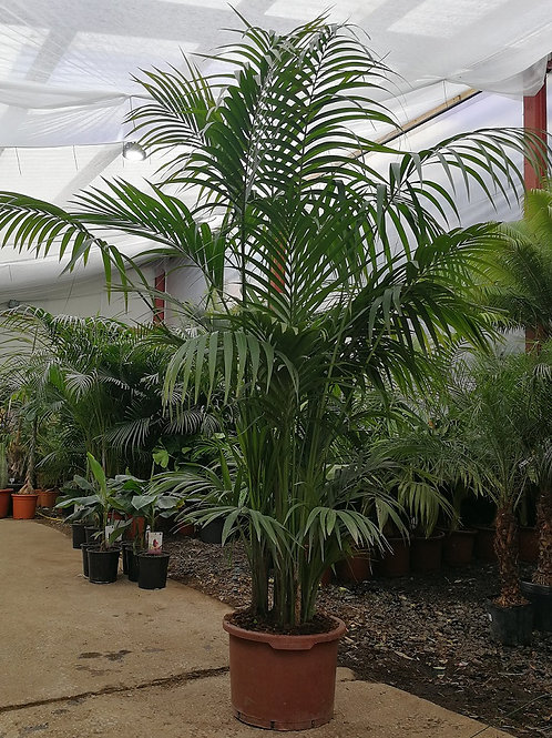 Extra Large Kentia Palm Tree for sale