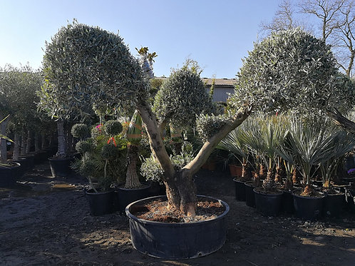 Large Multi branched Olive Trees For Sale