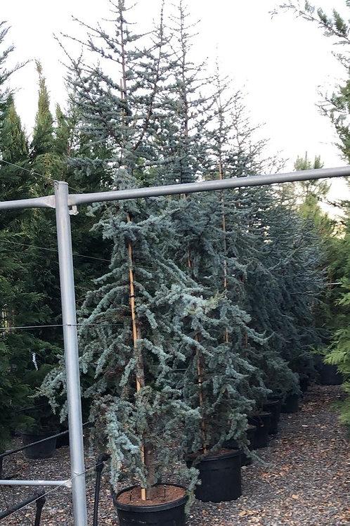 Cedrus Atlantica 'Glauca' Trees For Sale