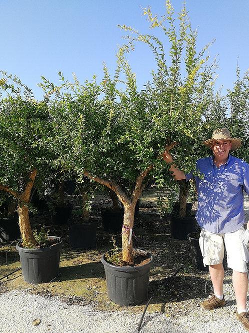 Large Pomegranate Trees For sale. Punica Granatum