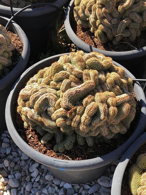 Cleistocactus Samaiapatanus Cristata Cactus.