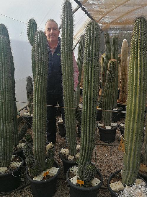 Large Organ Pipe Cactus for Sale. Stenocereus Thurberii Cactus