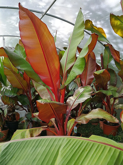 Large Red Abyssinian Banana Plants