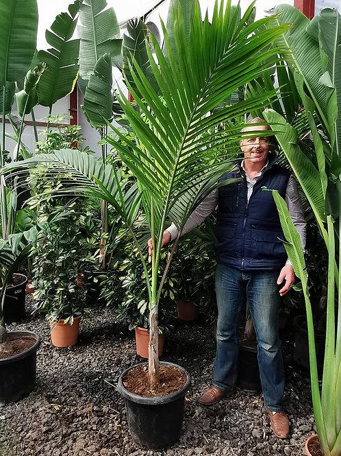 Large Dictosperma Album var Rubrum. Red Princess Palm.