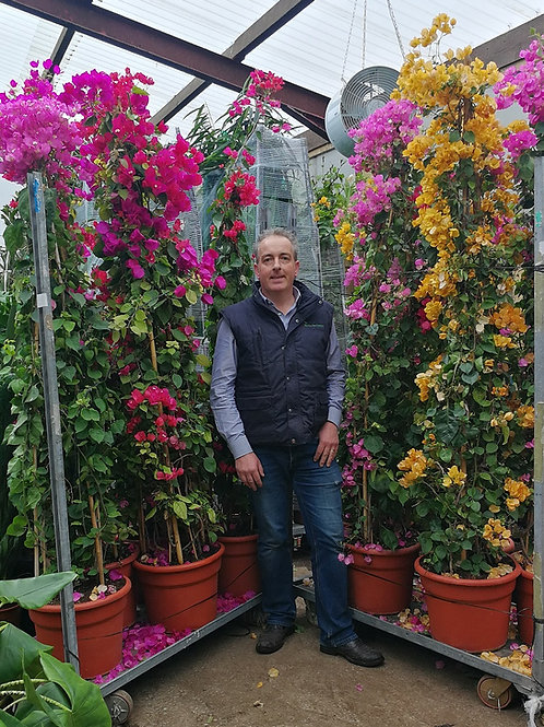Large Bougainvillea Pyramids in Purple/Cerise, Pale Pink, Yellow and Cerise.