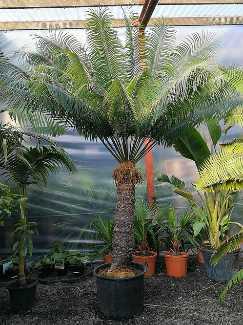 Large Cycas Circinalis. Queen Sago Palm.