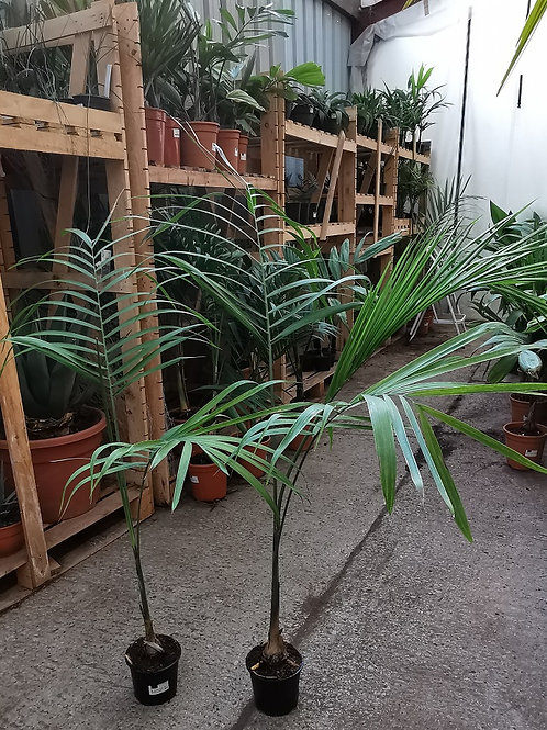 Gaussia Maya Palm For Sale.