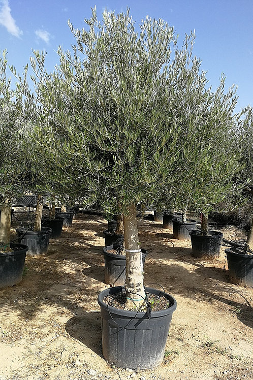Large European Olive Trees. Open Crown European Olive Trees