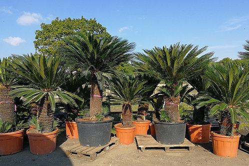 Large Specimen Cycas Revoluta for sale