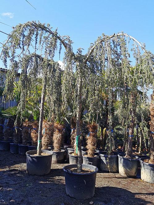 Large Cedrus Atlantia Glauca Pendula Trees For Sale