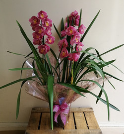 Orchid Plant.