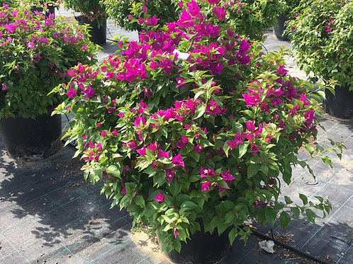 Bougainvillea 'Sanderiana' Plants For Sale