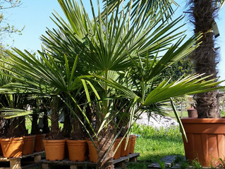 PALM TREE COMPETITION