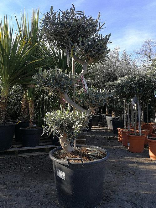 Pom Pom Olive Trees Serpent Trunk Formation For Sale