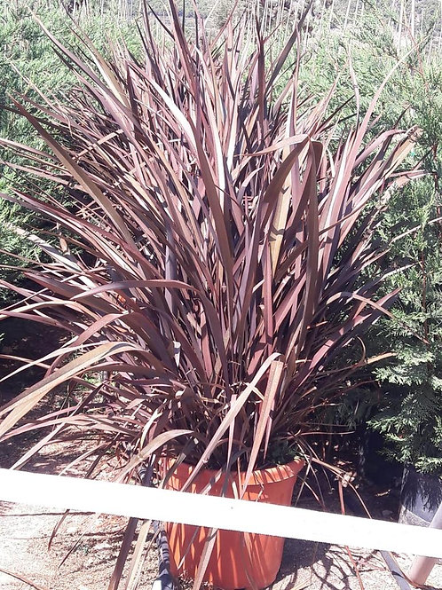 Phormium Bronze Baby Plants For Sale