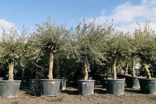 Olive Trees. Lechin Variety.