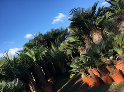 Palm Trees For Sale