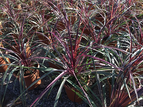 Cordyline Australis Can Can Plants