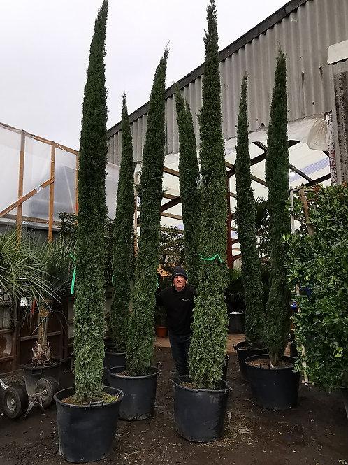 Large Cupressus Sempervirens Totem