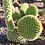 Opuntia Microdasys Cactus For Sale
