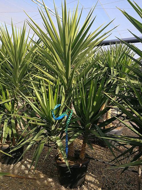 Large Yucca Elegans Multi Head Plants.