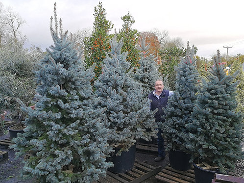 Picea Pungens 'Hoopsii'. Blue Spruce 'Hoopsii'. Colorado Blue Spruce Christmas Trees For Sale.