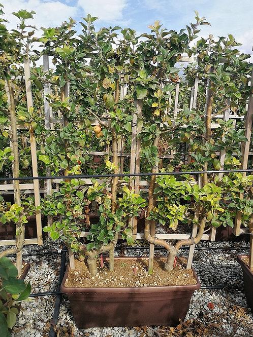 Large Apple Trees Espalier Trained. Variety Belle De Boskoop