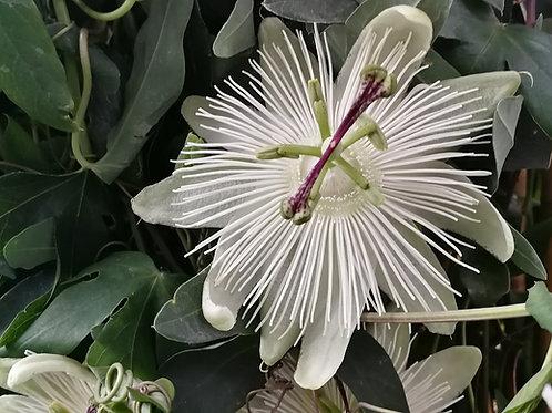 Passion Flower 'Constance Eliott'. Large White Passion Flower Vines For Sale