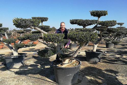 Large Cloud Olive Trees For Sale . Pom Pom Olive Tree.