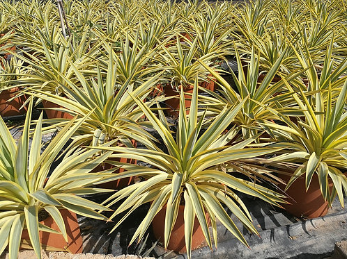 Yucca Gloriosa 'Bright Star'. Spanish Dagger 'Bright Star' Plants