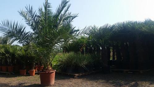 Canary island date palm care uk