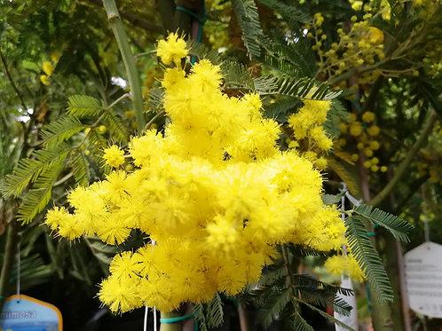 Acacia Dealbata 'Gaulois Astier'. Mimosa Trees For Sale
