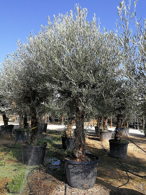 Olive Trees. Tall Bonsai Olive Tree For Sale