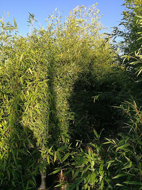 Phyllostachys Aurea Plants For Sale. Golden Bamboo Plants.