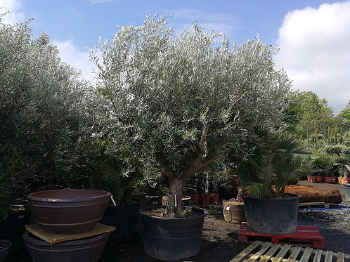 Large Olive Trees with Branched Crowns for sale
