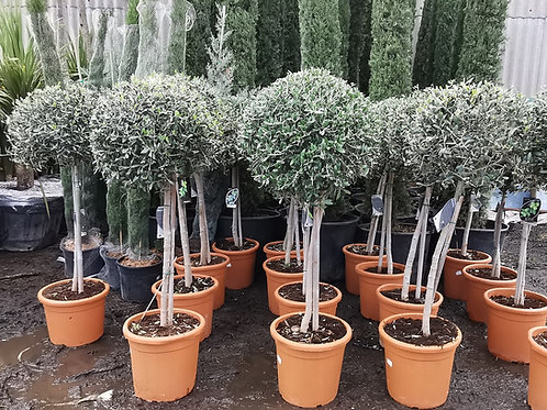 OLIVE TREES. Topiary Pruned