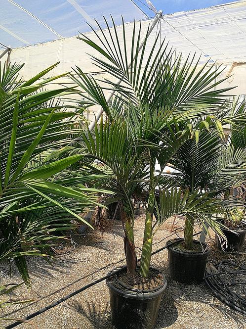Large Archontophoenix Cunninghamiana Palm. Piccabeen Palm