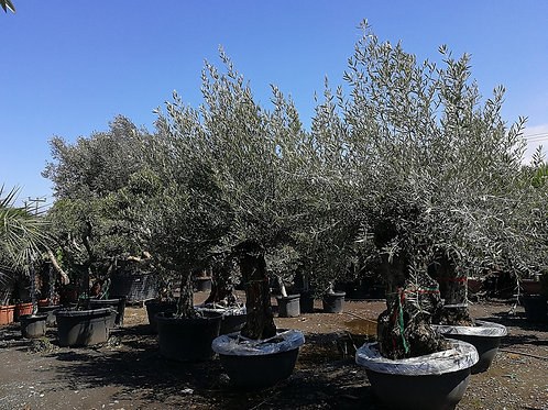 Large Gnarled Bonsai Olive Trees in a Low Bowl For Sale