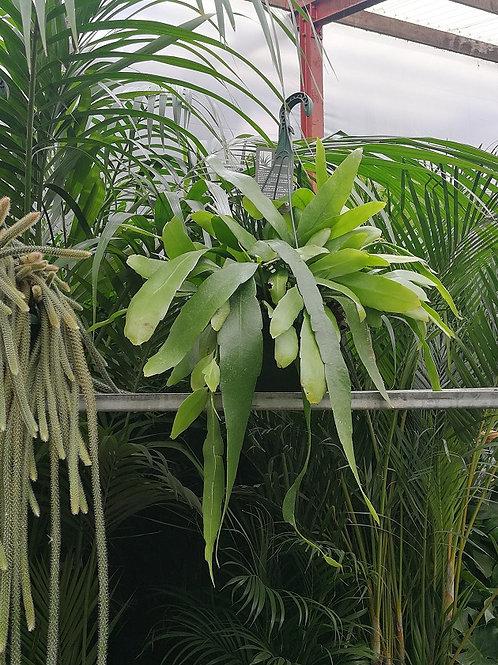 Large Epiphyllum Pumillum Hanging Cactus For Sale