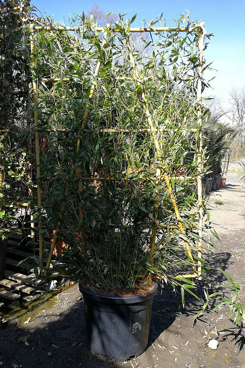 Espalier Bamboo For Sale.