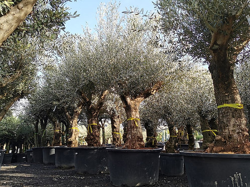 Large Open Crown Olive Trees. Variety Picual