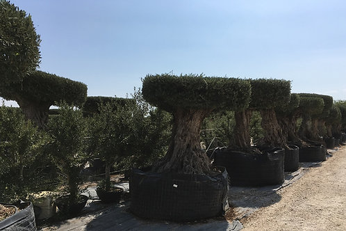 Ancient Gnarled Olive Trees. Disc formation.
