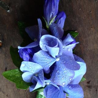 Stunning Blue Hydrangea Buttonhole