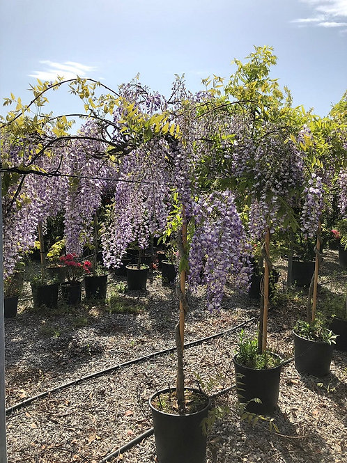 Large Wisteria Spiral Stem Umbrella Trees
