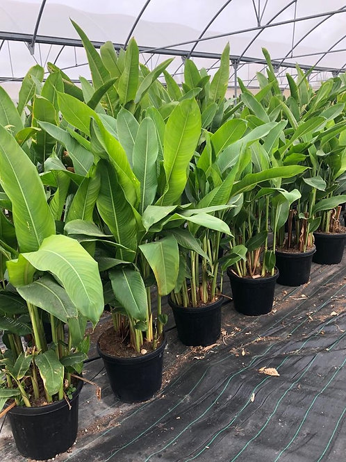 Large Heliconia Psittacorum. Parrot Heliconia For Sale