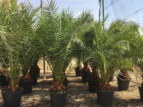 Quality Phoenix Canariensis Palms